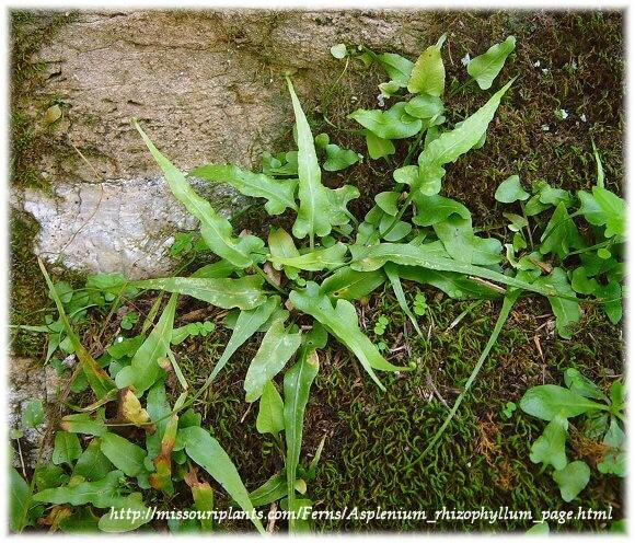 walking fern, Asplenium rhizophyllum,  photograph courtesy of www.missouriplants.com